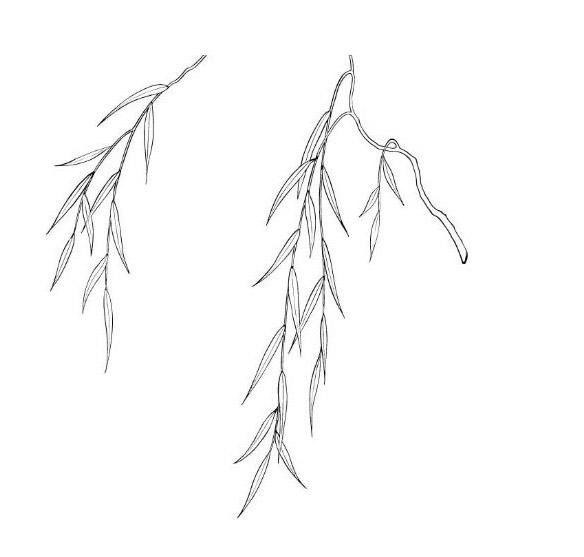 柳树简笔画5