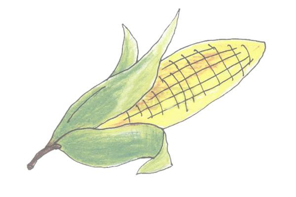 玉米的简笔画的绘画图解