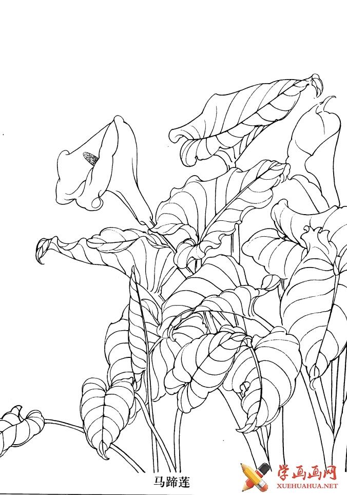 白描花卉_马蹄莲的画法(1)