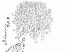 白描菊花的画法资料《白描菊》