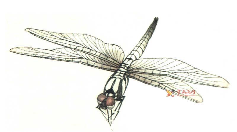 工笔画昆虫教程_蜻蜓的设色过程(2)