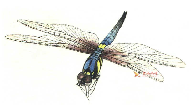 工笔画昆虫教程_蜻蜓的设色过程