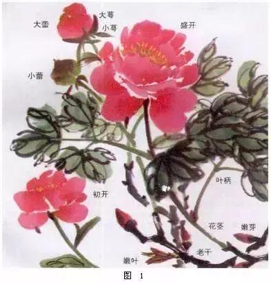 国画牡丹画法详解(1)