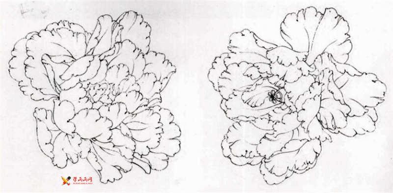 工笔白描牡丹的画法(8)