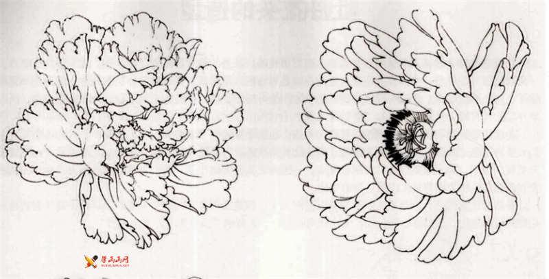 工笔白描牡丹的画法(10)
