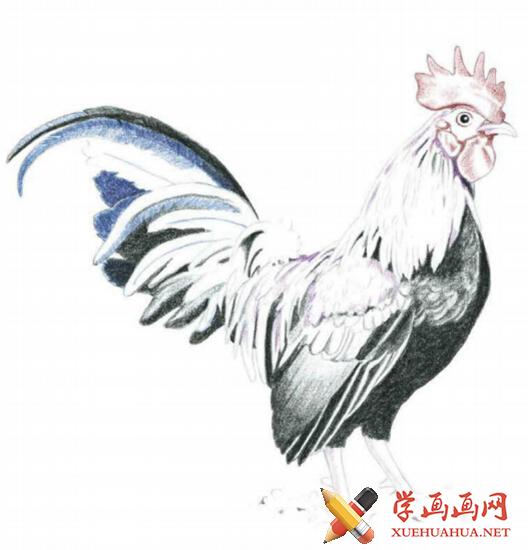 彩铅画鸡详细步骤(4)