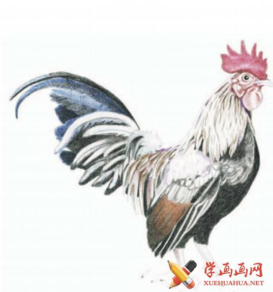 彩铅画鸡详细步骤(5)