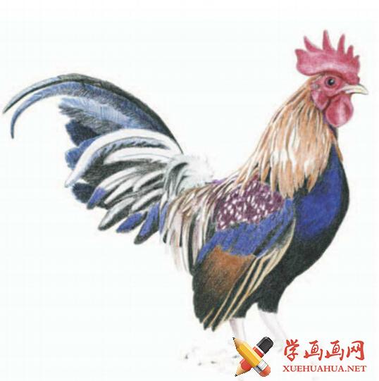 彩铅画鸡详细步骤(6)