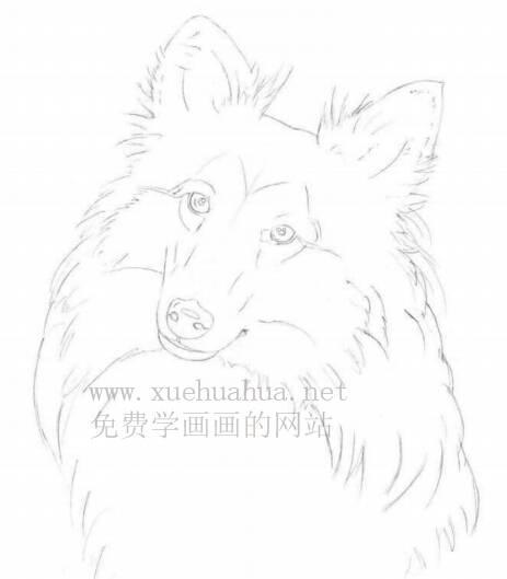 彩铅画动物教程:喜乐蒂牧羊犬画法【详细步骤】(2)