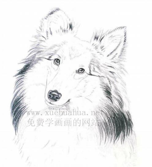 彩铅画动物教程:喜乐蒂牧羊犬画法【详细步骤】(3)