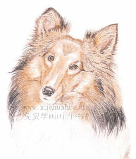 彩铅画动物教程:喜乐蒂牧羊犬画法【详细步骤】(4)