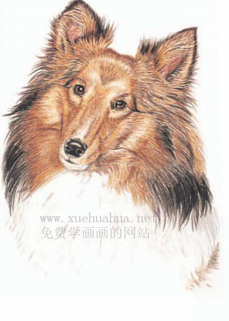 彩铅画动物教程:喜乐蒂牧羊犬画法【详细步骤】(5)
