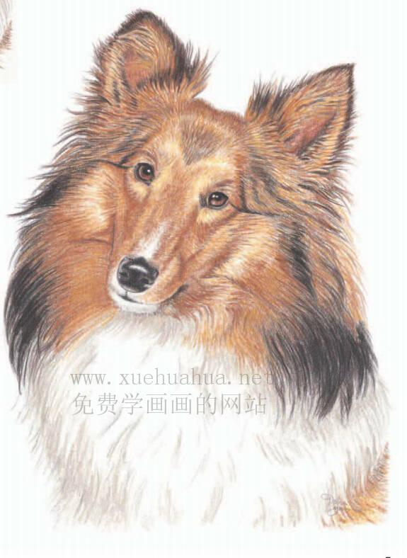 彩铅画动物教程:喜乐蒂牧羊犬画法【详细步骤】(6)