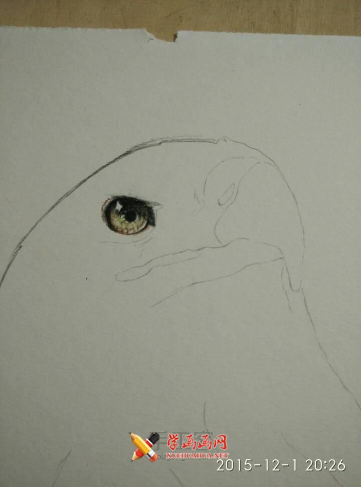 彩铅画教程:彩铅手绘白头海雕步骤(2)
