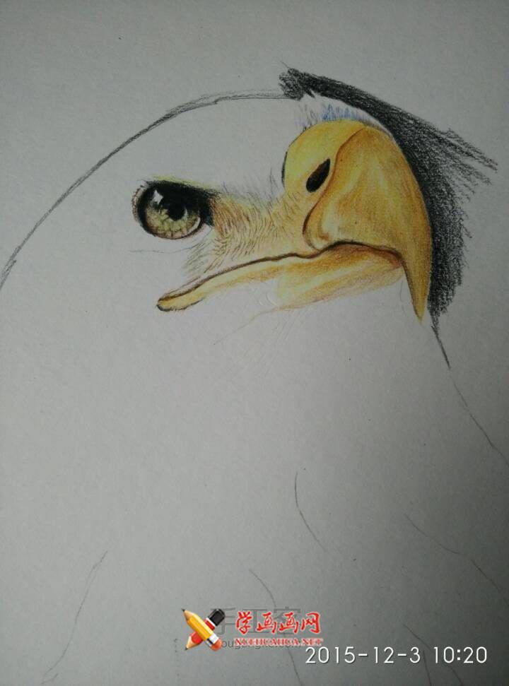 彩铅画教程:彩铅手绘白头海雕步骤(4)