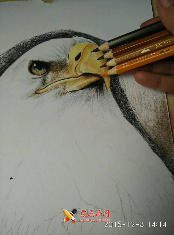彩铅画教程:彩铅手绘白头海雕步骤(5)