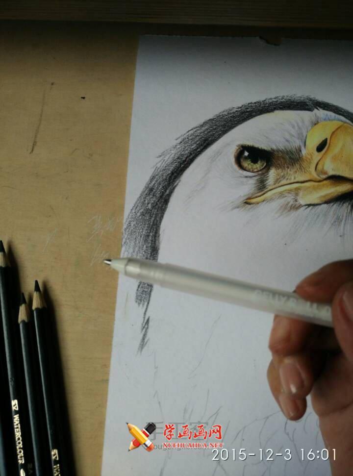 彩铅画教程:彩铅手绘白头海雕步骤(6)