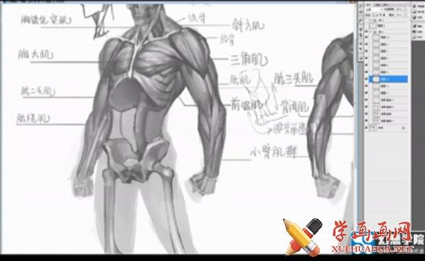 人体结构_肌肉画法视频教程(1)