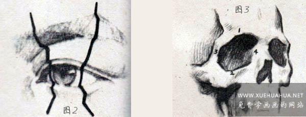 眼睛眉毛的结构讲解(2)