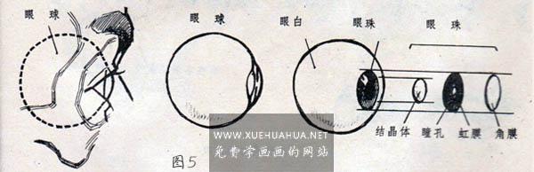 眼睛眉毛的结构讲解(4)