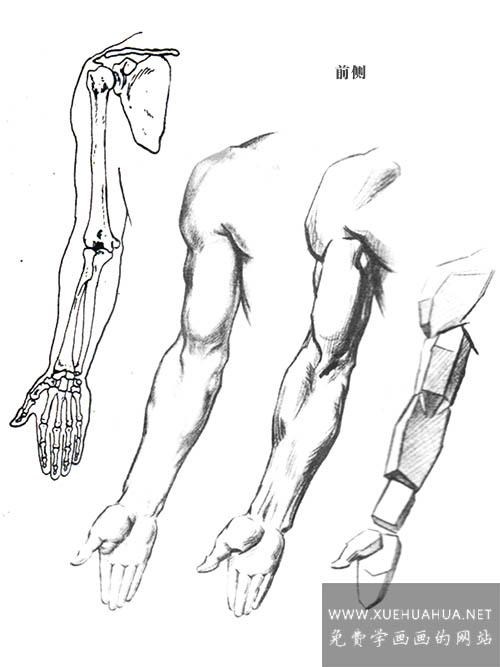 绘画基础:上肢(手臂)的结构与基本形(1)