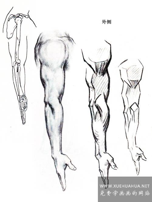 绘画基础:上肢(手臂)的结构与基本形(2)