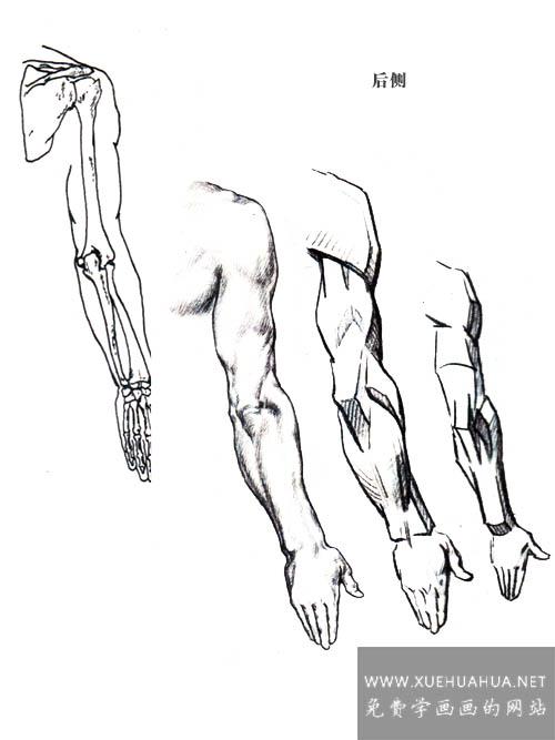 绘画基础:上肢(手臂)的结构与基本形(3)