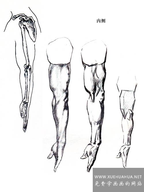 绘画基础:上肢(手臂)的结构与基本形(4)