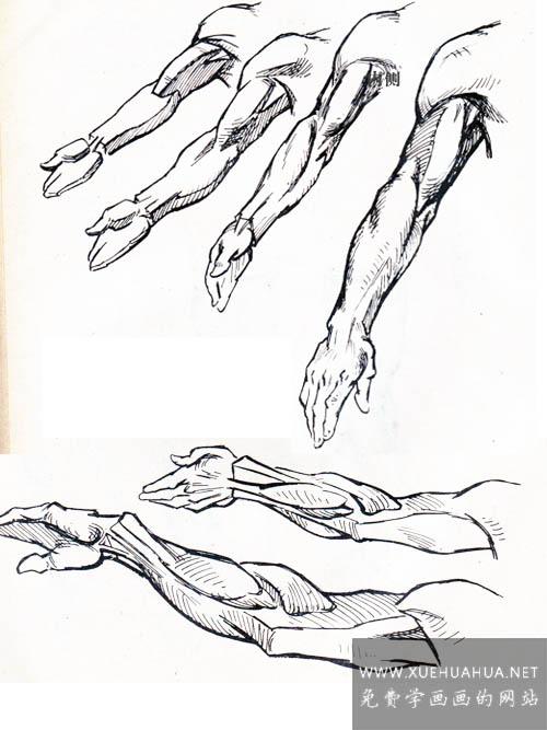 绘画基础:上肢(手臂)的结构与基本形(5)