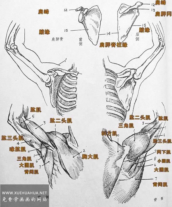 人体结构:肩背部结构画法及肌肉名称(1)