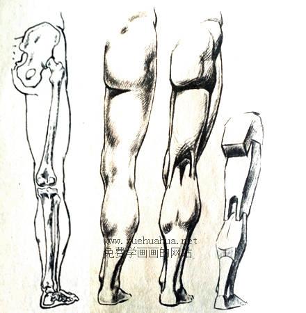 人体结构教程:下肢形体结构(3)