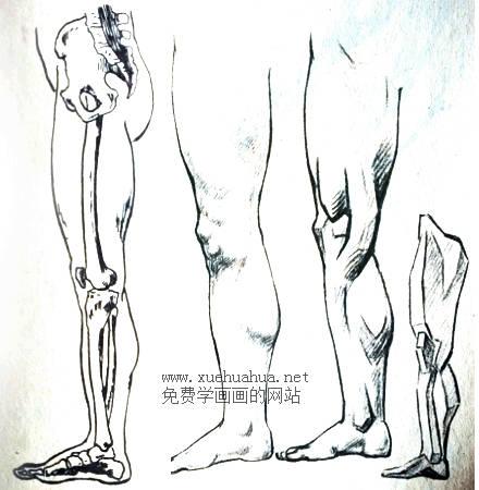 人体结构教程:下肢形体结构(4)