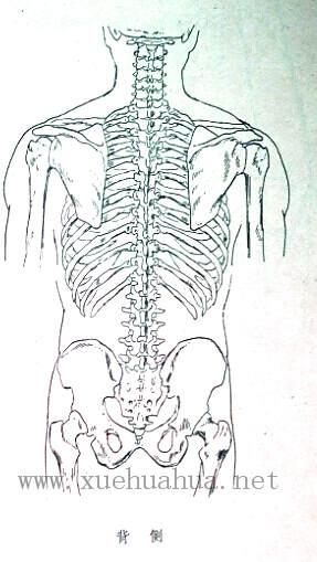 人体结构教程:躯干的解剖结构(3)