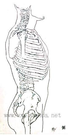 人体结构教程:躯干的解剖结构(4)