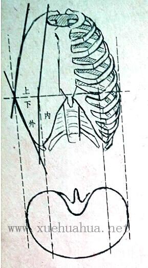 人体结构教程:躯干的解剖结构(5)