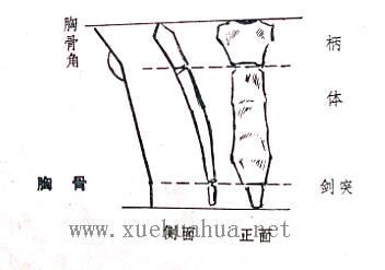 人体结构教程:躯干的解剖结构(6)