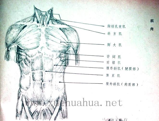 人体结构教程:躯干的解剖结构(7)