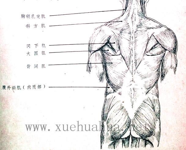 人体结构教程:躯干的解剖结构(8)
