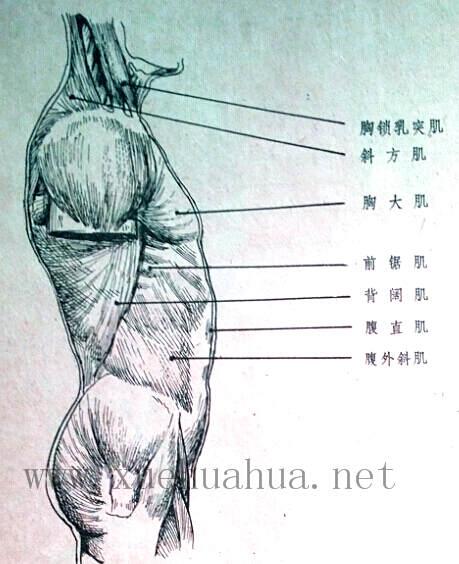 人体结构教程:躯干的解剖结构(9)