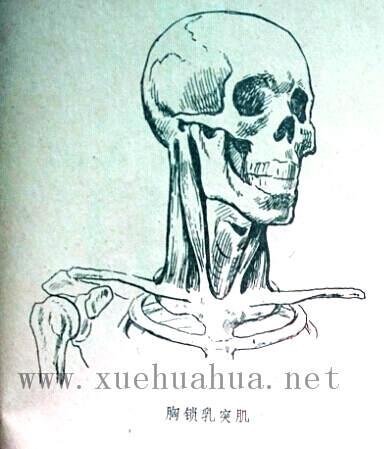 人体结构教程:躯干的解剖结构(10)