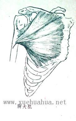 人体结构教程:躯干的解剖结构(11)