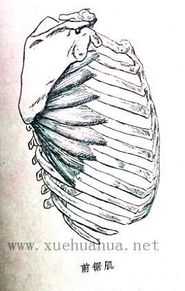 人体结构教程:躯干的解剖结构(12)