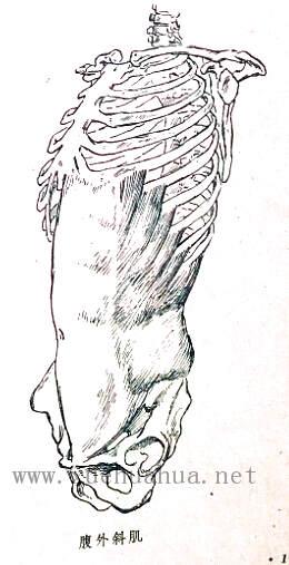 人体结构教程:躯干的解剖结构(13)