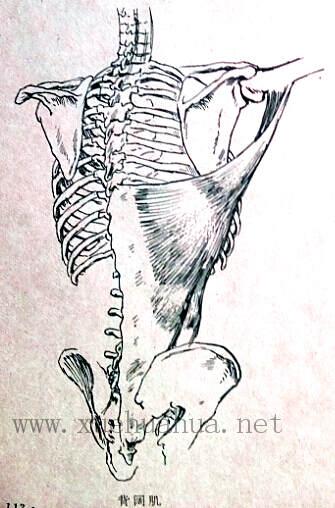 人体结构教程:躯干的解剖结构(16)