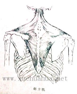 人体结构教程:躯干的解剖结构(17)