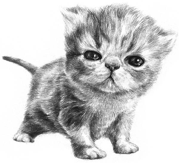 素描猫咪的画法(3)