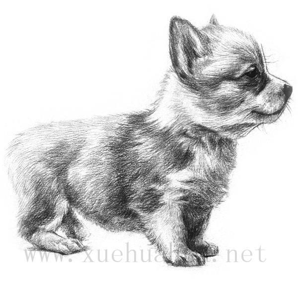 素描小狗的画法(1)