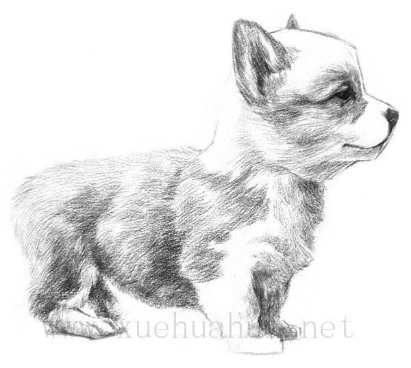 素描小狗的画法(8)