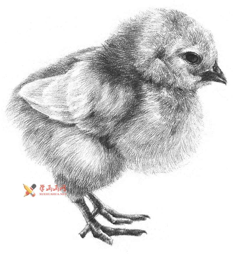 动物素描教程_铅笔画一只毛茸茸的小鸡(1)