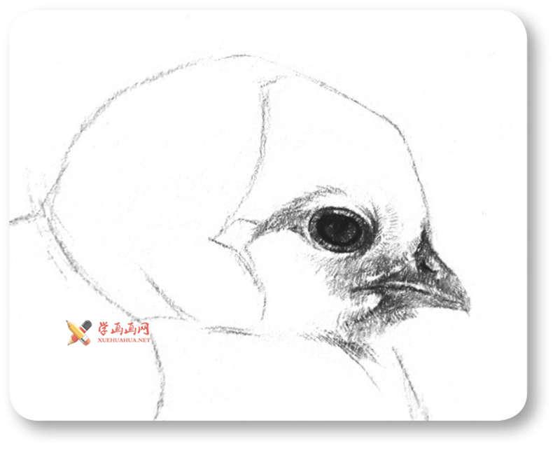 动物素描教程_铅笔画一只毛茸茸的小鸡(5)